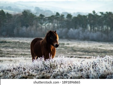 A beautiful Wild Exmoor pony standing among the frosty and snowy brush of Exmoor National Park at Haddon Hill, Devon, UK
