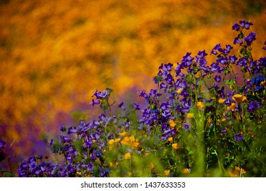 Beautiful Wild Flower Filed at Walker Canyon of Lake Elsinor of California in USA