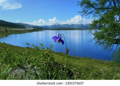 Beautiful wild flower growing near a lake in the Altai Republic in Russia.