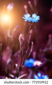 Beautiful wild flower in sunset