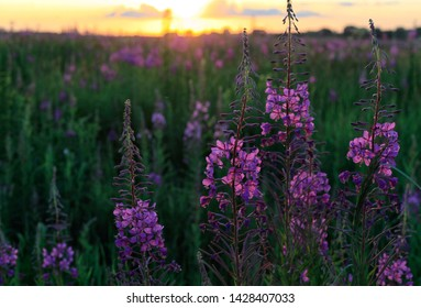 Beautiful wild flowers bloom in the fields of Russia at sunset