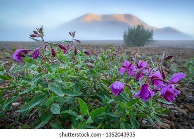 Beautiful wild flowers dwarf fireweed (Chamerion latifolium). Early foggy morning in the mountain valley. Dew on the leaves. Plants on the background of the hill. Arctic nature. Chukotka, Russia.