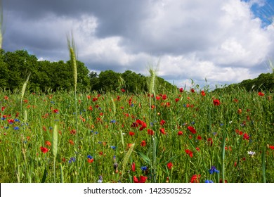 Beautiful wild flowers field with red poppy flowers and blue cornflowers in Vincennes forest of Paris, France. Majestic nature background. Biodiversity  concept. Environment background.