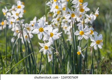 Beautiful wild fragrant  Narcissus flowers ( Narcissus tazetta, bunch-flowered narcissus, daffodil, Chinese sacred lily ) in full bloom at Nov Meadow nature reserve. Golan Heights Israel