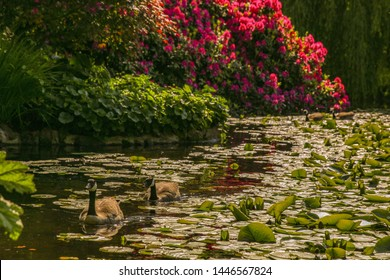 Beautiful wild goose in Beacon hill park, Victoria BC, Canada
