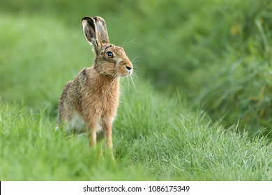Beautiful wild hare in Norfolk UK early morning seen close up and in high detail. Wet grass farmland location