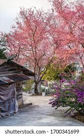 Beautiful Wild Himalayan Cherry Blossom (Prunus cerasoides) or Mai Anh Dao flower, Dalat, Vietnam. Flower same Japan, Thailand