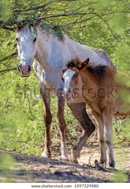 Beautiful Wild Horse Baby Foal Under Stock Photo Edit Now 1097329880