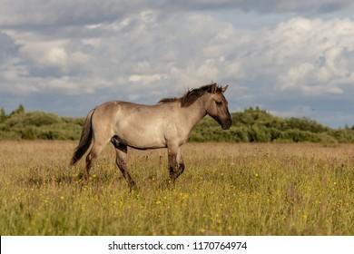 beautiful wild horses graze in grasslands