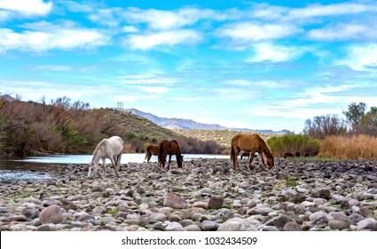 Beautiful wild horses at Lower Salt River in Arizona.