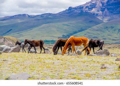 Beautiful wild horses in the National Park Cotopaxi