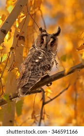 Beautiful wild Long-eared Owl, Asio otus, perched on birch, surrounded by intensive orange birch leaves, lit by setting sun, staring directly at camera. Bright eyes, czech wildlife, autumn.