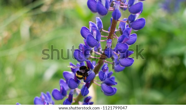 Beautiful wild lupinus flowers with flying bumblebee. Background with blue or violet flowers and insect
