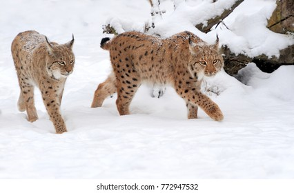Beautiful wild lynx in winter day