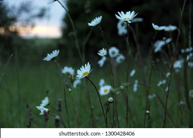 beautiful wild marguerite meadow at sunset