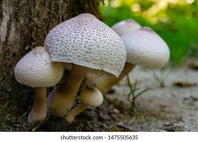 Beautiful wild mushrooms Chlorophyllum molybdites - False Parasol with white cap and brown specks on oak tree stump. Forest mushroom has high severity poison characteristics