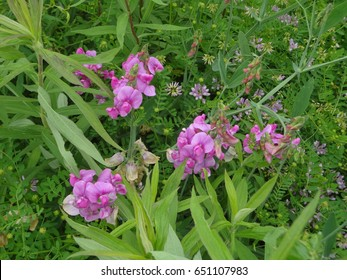 Beautiful wild orchids in East Tennessee, USA.