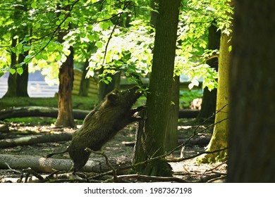Beautiful wild pig in the forest. Animals in the wild, natural colorful background.