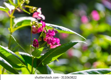 Vintage photo of beautiful wild pink flowers growing in summertime beautiful wild pink flowers growing in summertime forest mightylinksfo