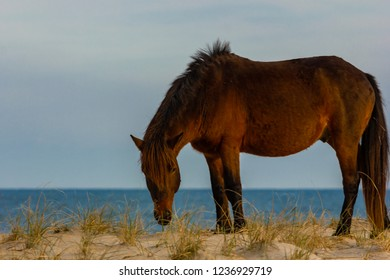 Beautiful Wild ponies from Assateague Island National Seashore in the sand dunes near Ocean city in the USA with the ocean in the background.