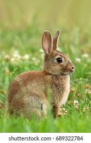 Beautiful wild rabbit Oryctolagus cuniculus