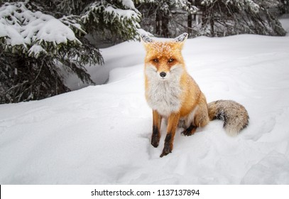 Beautiful wild red fox in the snow, in the mountains