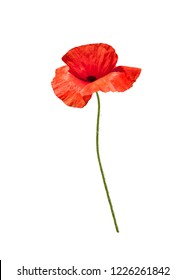 Beautiful wild red poppy isolated on white background.