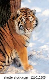 Beautiful wild siberian tiger on snow