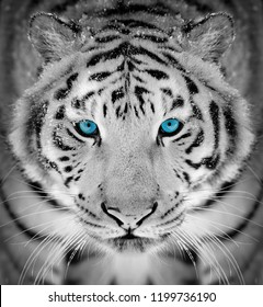Beautiful wild siberian tiger portrait on snow with blue eye