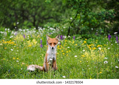 Beautiful wild sly fox hunting in the forest, wildlife photo