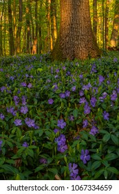 Beautiful wild spring flowers, small periwinkle (vinca minor), covering the forest in a purple flower carpet under warm evening light