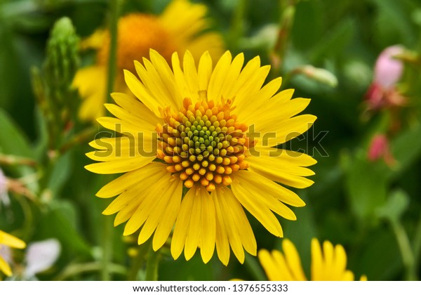 Beautiful wild spring Yellow Sneezweed (Helenium amarum) with green background.