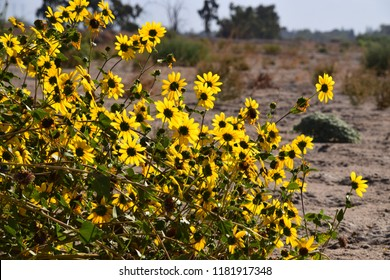 Beautiful wild sunflowers blooming during autumn, Kern River, Bakersfield, CA.