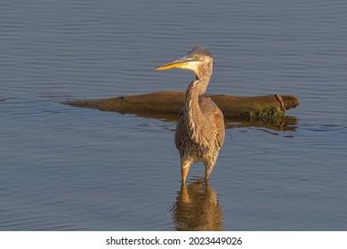 Beautiful wild wading shorebird, Great blue heron
