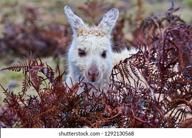 Beautiful. wild, white wallaby at Narawntapu National Park in Tasmania peeks from behind red foliage