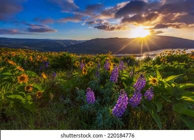 Beautiful wildflower in sunrise, Columbia river gorge, Oregon