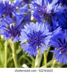 Beautiful wildflowers cornflowers