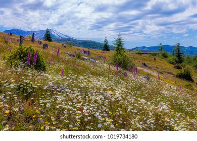 Beautiful wildflowers in the green grass. South Coldwater Ridge, Mount St Helens National Park, West Part, South Cascades in Washington State, USA
