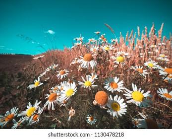 Beautiful wildflowers growing in a wheat field