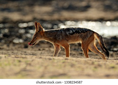 Beautiful wildlife scene from Africa with nice sun light. Jackal and evening sunlight. Black-Backed Jackal, Canis mesomelas mesomelas, portrait of animal with long ears, Tanzania, South Africa.