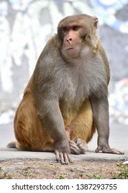Beautiful wildlife: A strong and sturdy Rhesus Macaque adult male monkey sitting on a rock, looking on with confidence and determination vertical closeup image, taken at Himalayan mountains, INDIA