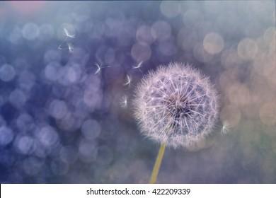 Beautiful Wind Blowing fluffy Dandelion seeds