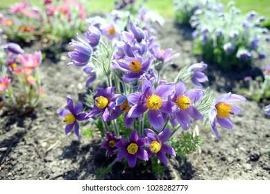 Beautiful windflowers (Pulsatilla patens) in spring