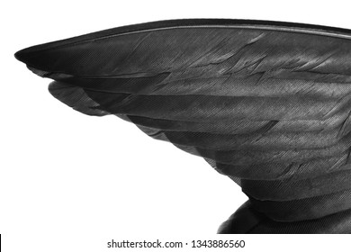 Beautiful wing black swan feather isolated on white background with chipping path