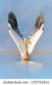 Beautiful wings. Bird start in the water. White pelican, Pelecanus onocrotalus, landing in Lake Kerkini, Greece. Pelican with open wings. Wildlife scene from European nature.