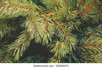 Beautiful winter backdrop. Nice fir branches. Close up. Wonderful background for your text. Christmas decoration. Vintage. Matte tone.