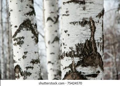 Beautiful winter birchwood