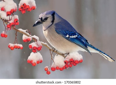 A beautiful winter Bluejay (Cyanocitta cristata) on a snowy hawthorn branch loaded with bright red berries.
