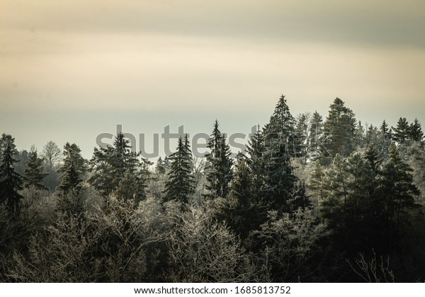 Beautiful winter forest landscape view with pines.  Vintage and retro style. Mystery forest