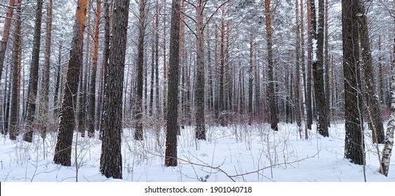 Beautiful Winter Forest. Strong Winter